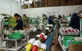produccion de rosas