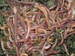 cacing tanah untuk pakan alami belut