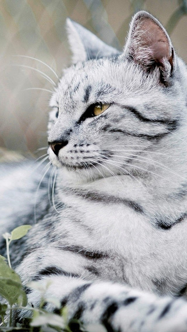 Wallpaper Collection For Android Phone Beautiful White Cat Android