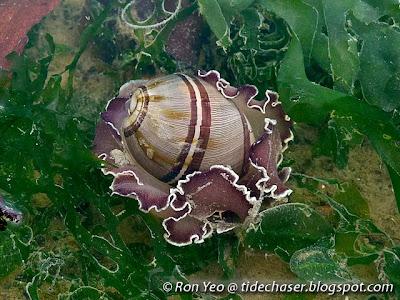 White-banded Paper Bubble Snail (Hydatina albocincta