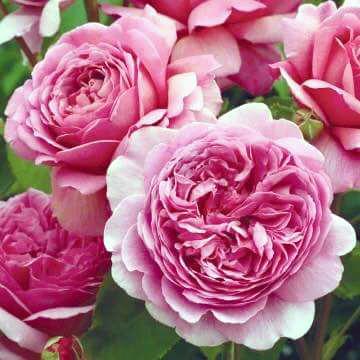 Tree rose có bông to, lâu tàn, đặc biệt là mỗi một cây có thể cho 500 bông/đợt