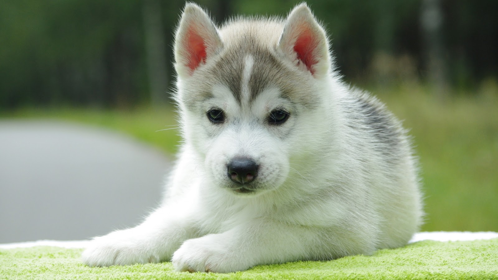 Cute White Puppy Husky