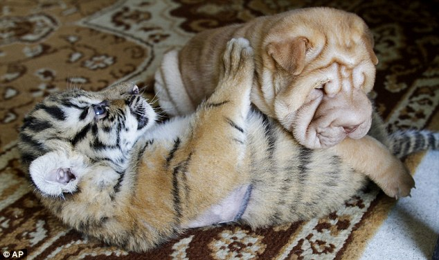Pet Tiger In House
