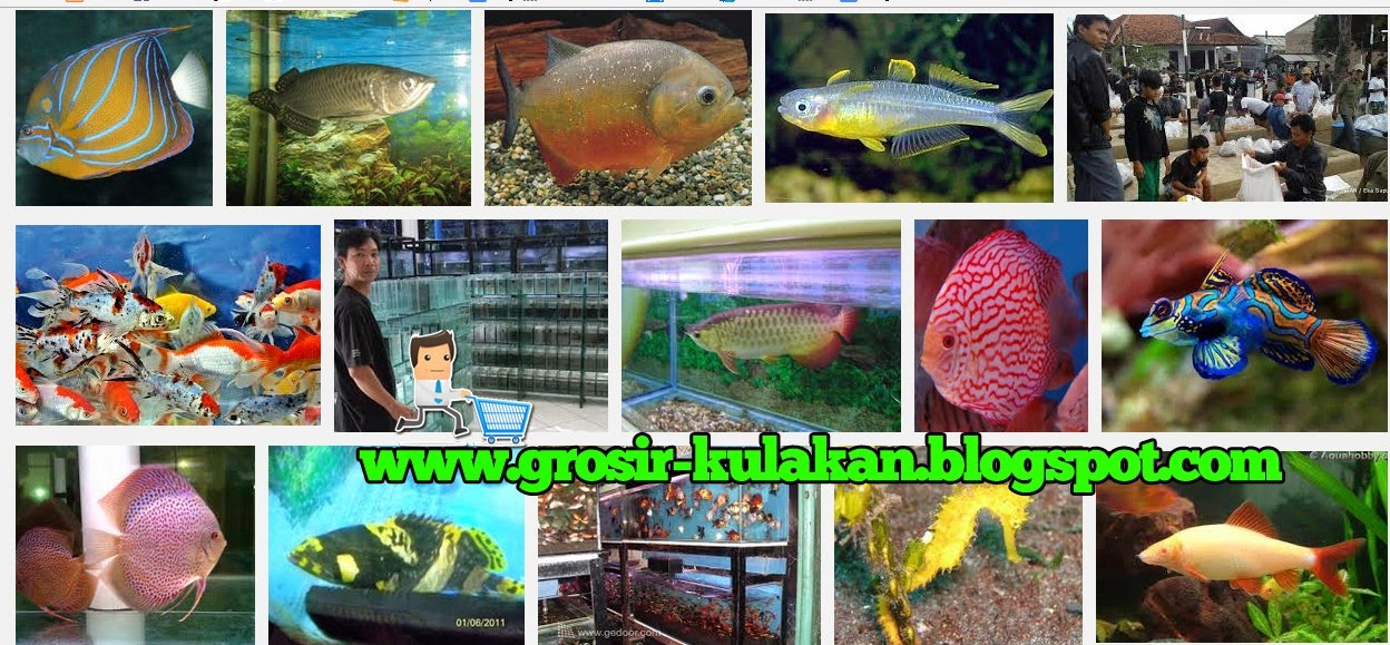 Supplier Ikan Hias