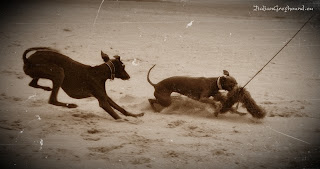 STUPOR MUNDI Italian Greyhound kennel