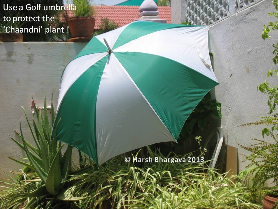 Heat was increasing and time was running out. Eureka! I dashed for my golf umbrella and covered the plant! See the picture below. & Ghumakkad Harsh: Golf Umbrella for Plant Protection