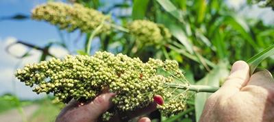 Eritre'de sorgum bitkisi