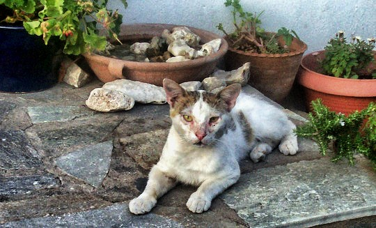 Cat from Anaxos, Lesbos