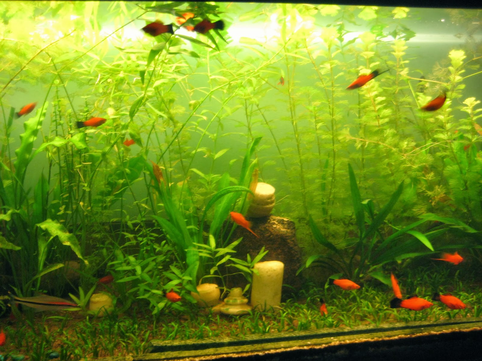 my fresh water aquarium natural planted tank walstad method walstad aquarium 1 year later. Black Bedroom Furniture Sets. Home Design Ideas