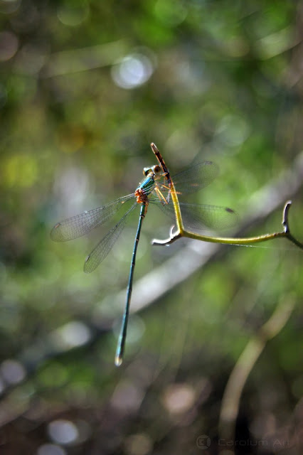 macro-fotografia-libelula-azul