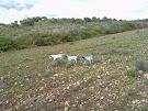 Cachorros cazando codornices (JARA, KENIA y ZULÚ)