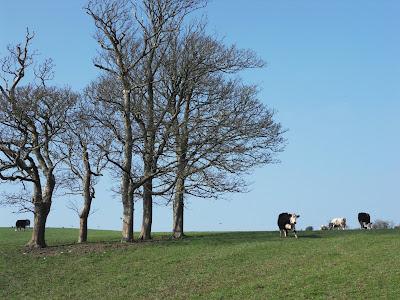 Cows near Menabilly Cornwall