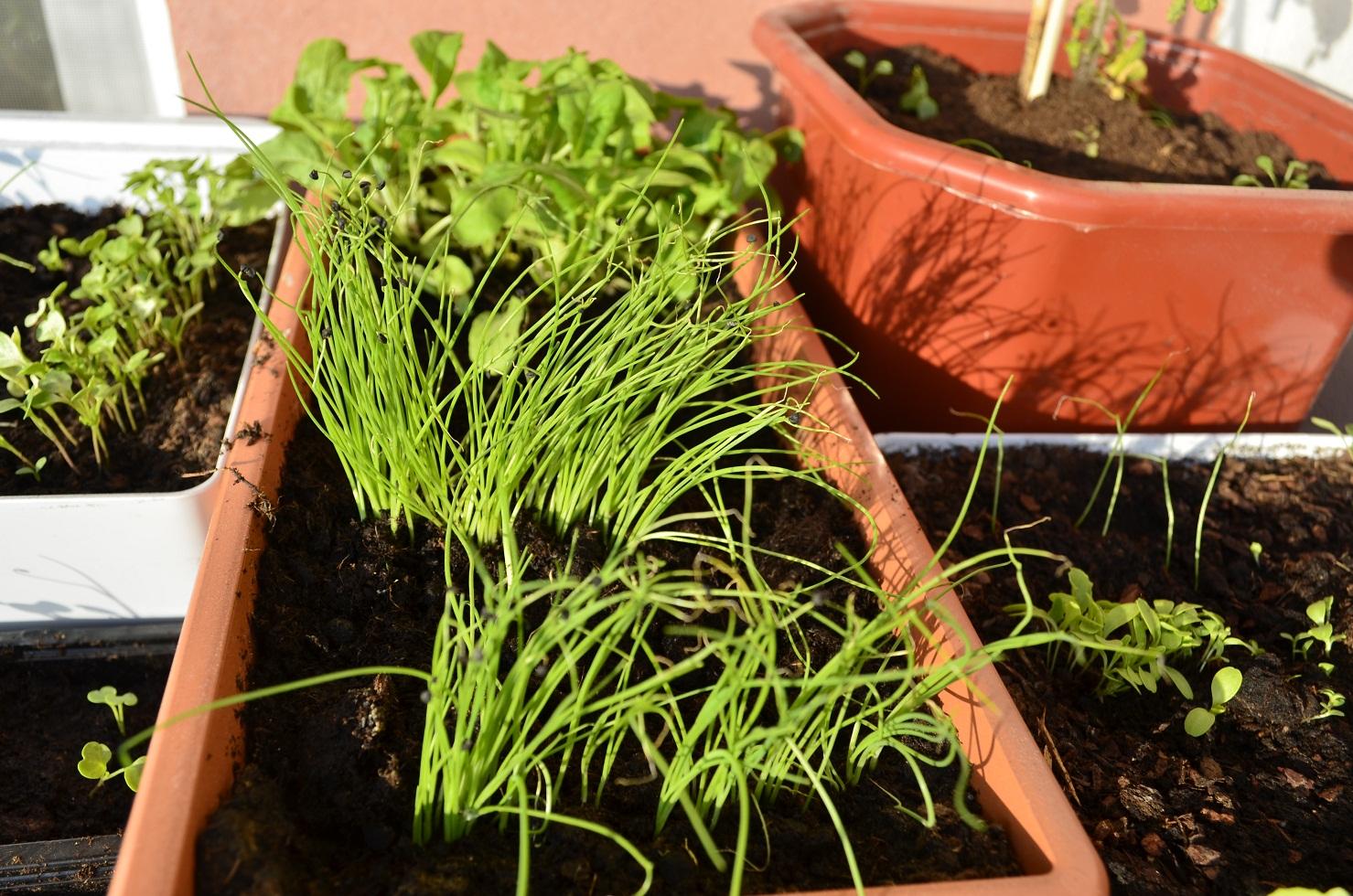 Как выращивать салат в домашних условиях 18