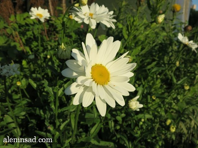 нивяник, Leucanthemum, ромашка, аленин сад, цветы, июль
