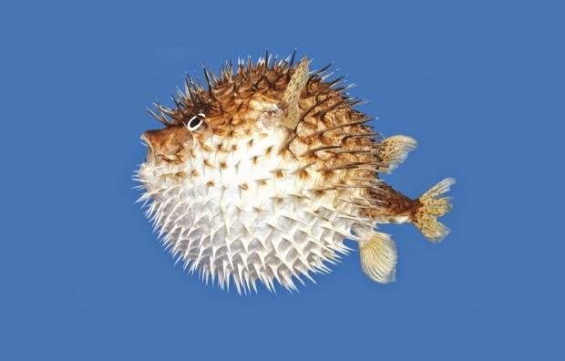 Eat well travel often for How much is a puffer fish