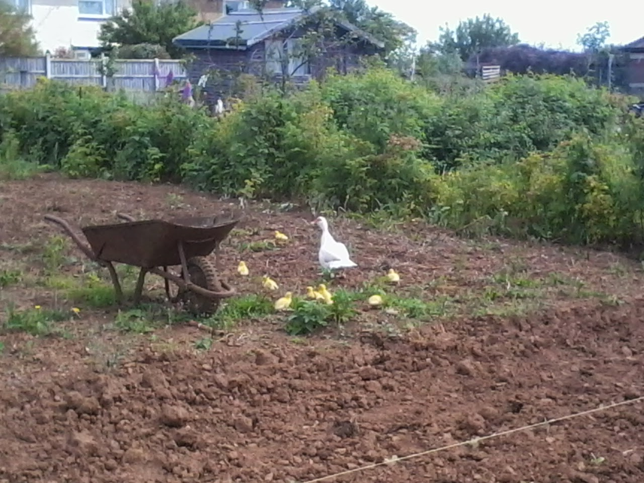 ducks and ducklings on allotments and ponds