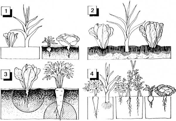 Huerto urbano asociaci n de cultivos for Asociacion de plantas en el huerto