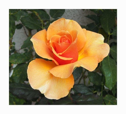 https://www.etsy.com/listing/26789484/fine-art-photography-apricot-orange-rose?ref=favs_view_3