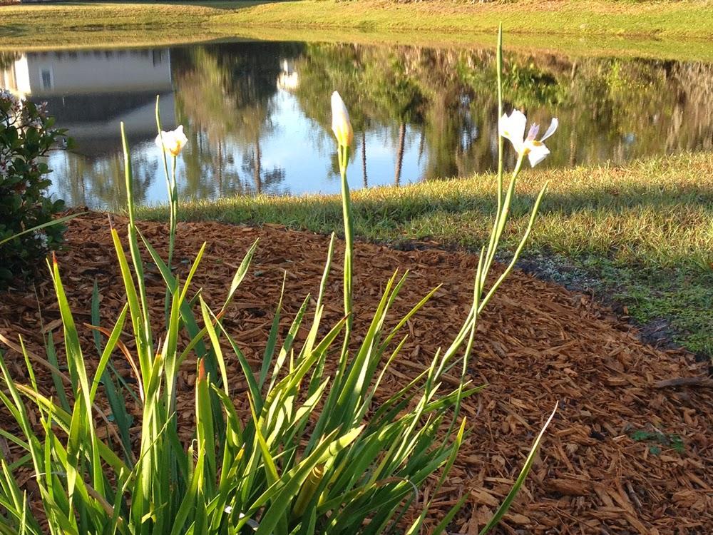 glass powder bullseye sgraffito fused frit painting flower iris white dietes photo art flutterbybutterfly flutterbyfoto day 17