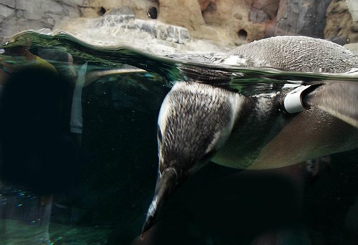June Keyes Penguins Aquarium of The Pacific