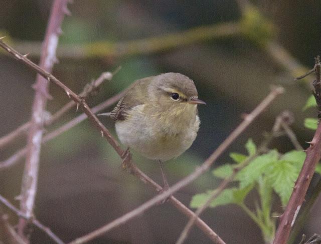Birds, Birding, Photography, Chiffchaff, Willow Warbler