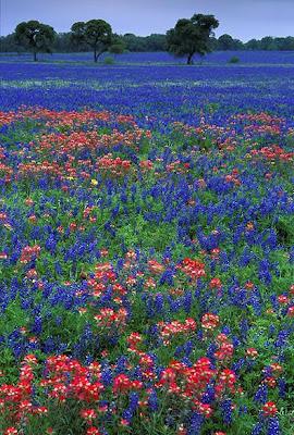Flores Silvestres Texas