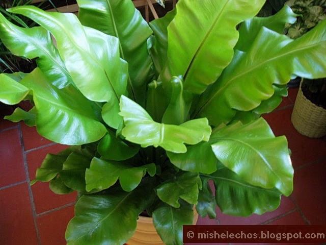 Mis helechos asplenium nidus for Plantas ornamentales helechos