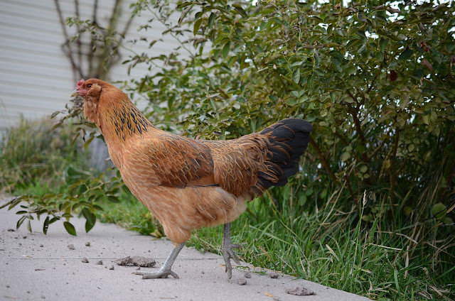 Ameracuana chicken breed, bearded hen, bearded chicken