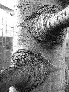 Populus tremuloides – Branches