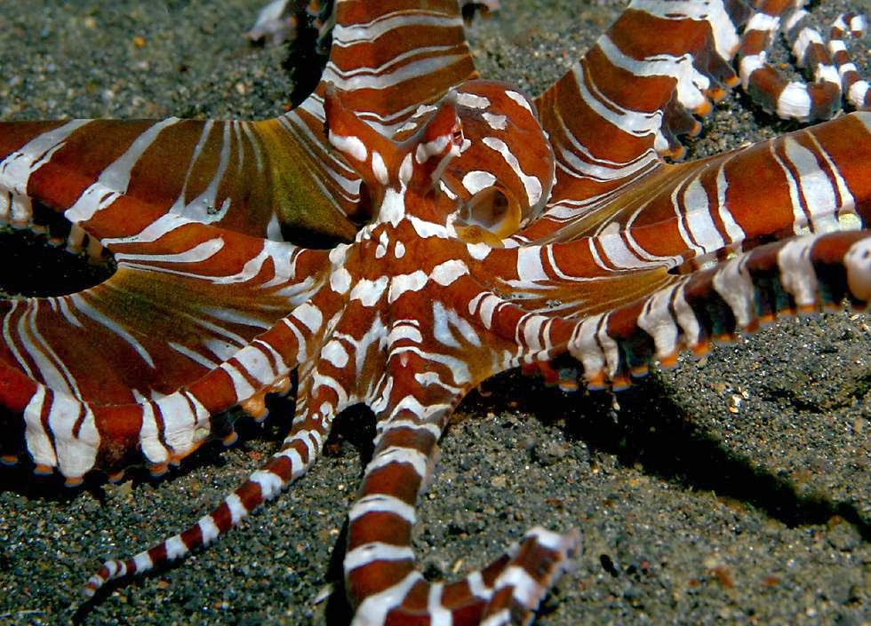 Mimic Octopus Transformation Mimic Octopuses Are