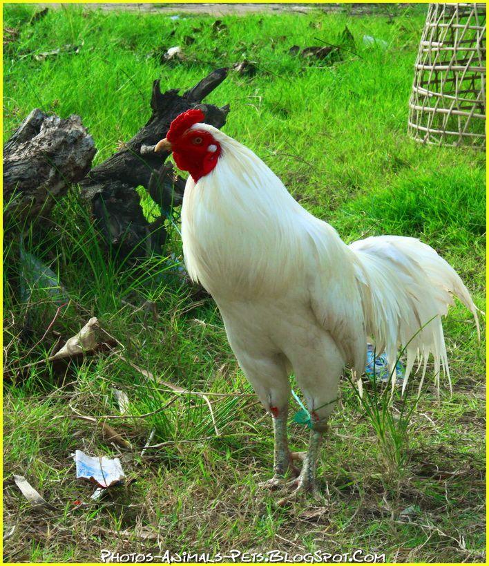 http://3.bp.blogspot.com/-BhYsXmiCDXY/Ttz1cGnUboI/AAAAAAAACeo/k1hIWQhAmUU/s1600/Rooster%2B.jpg