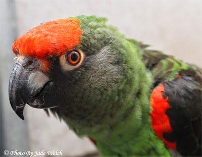 poicephalus jadewelchbirds jardine jardines african parrot