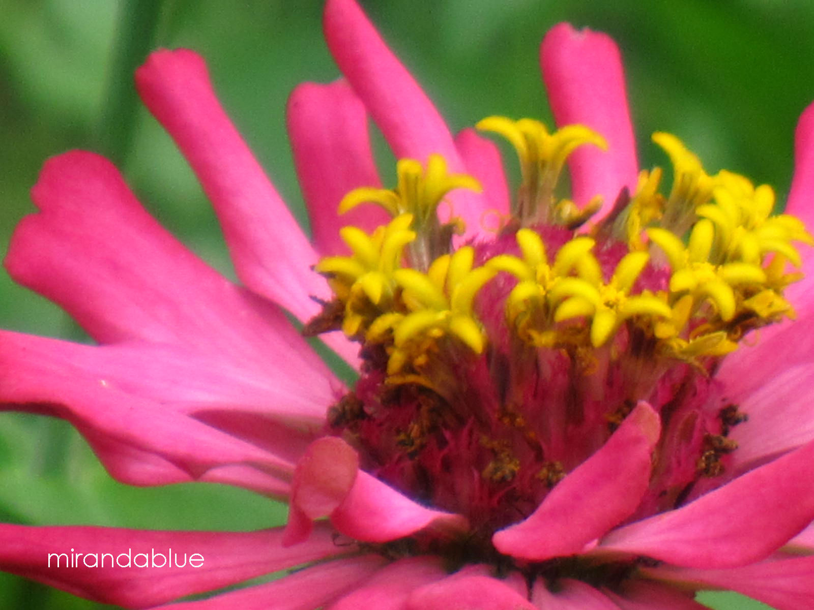 Live in the Moment Pink Zinnia