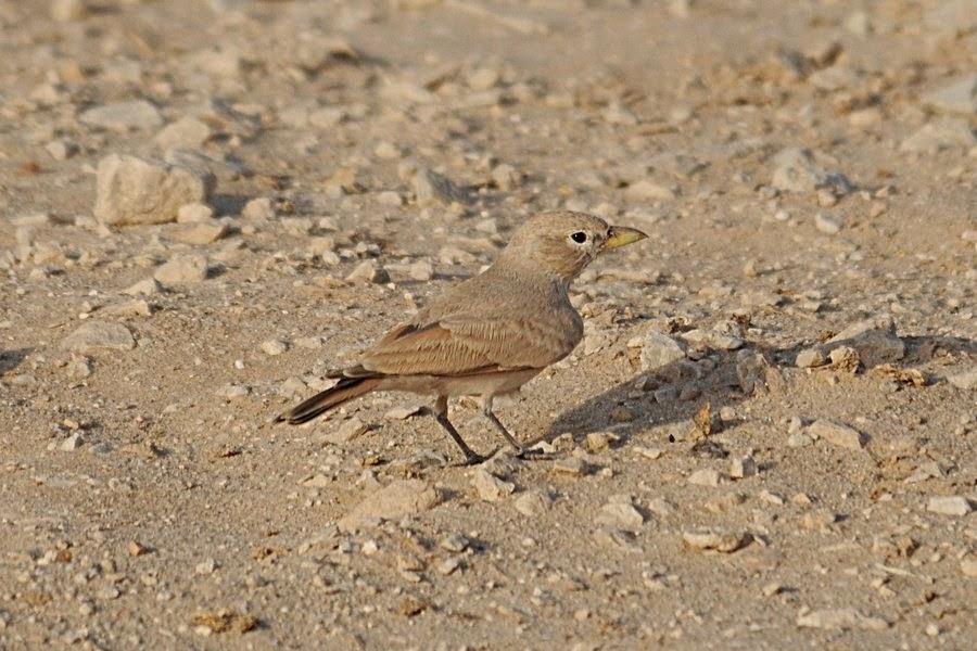 Desert Lark isabellinus - Jebal Nayriyyah
