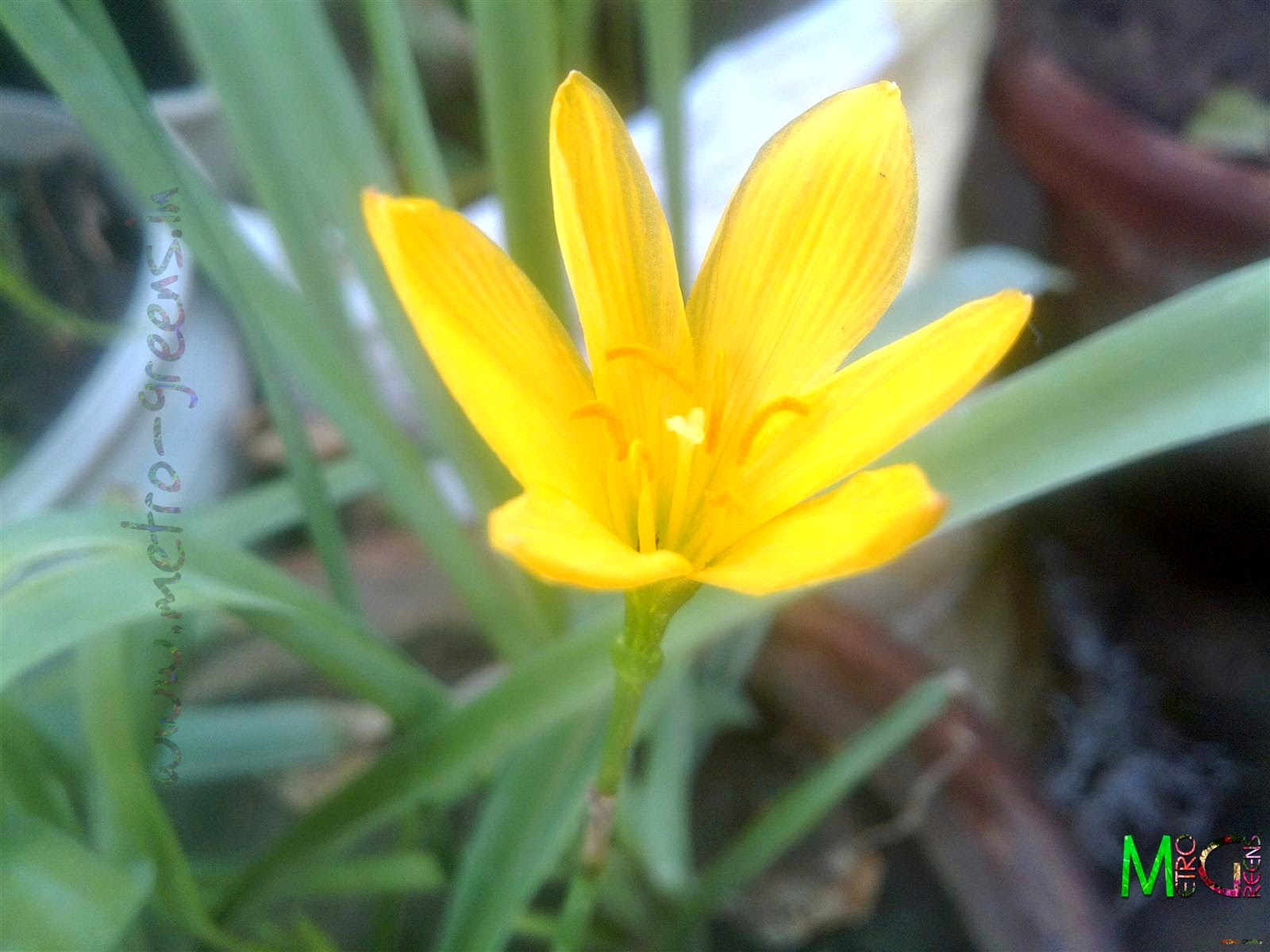 Metro Greens: A blooming yellow rain lily