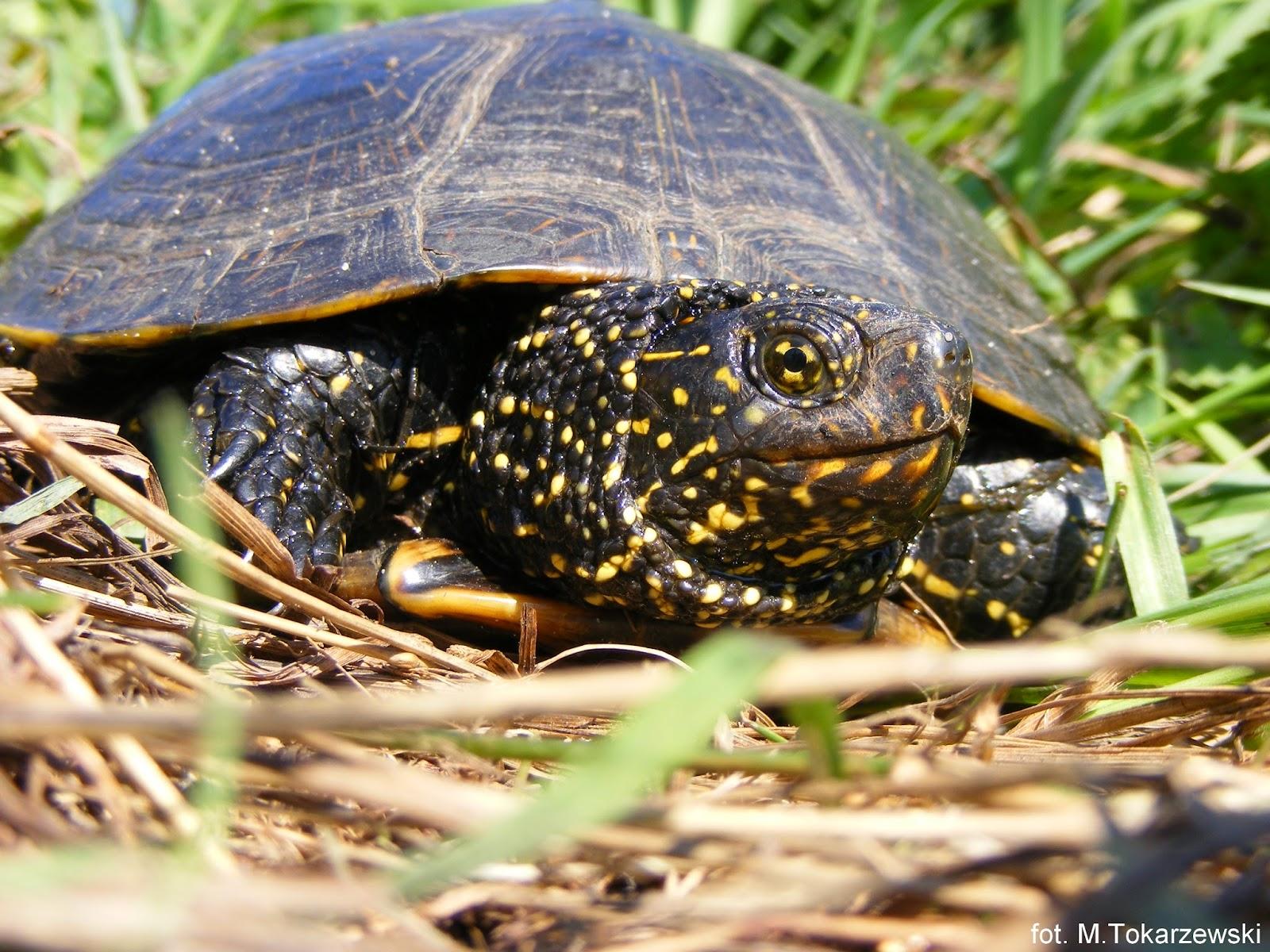 samica żółwia blotnego