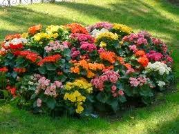 Plantas de begonias en flor