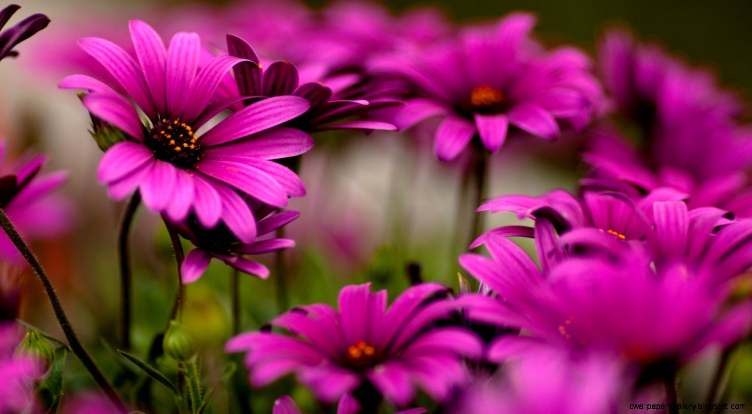 Collection of Flower Desktop Background on