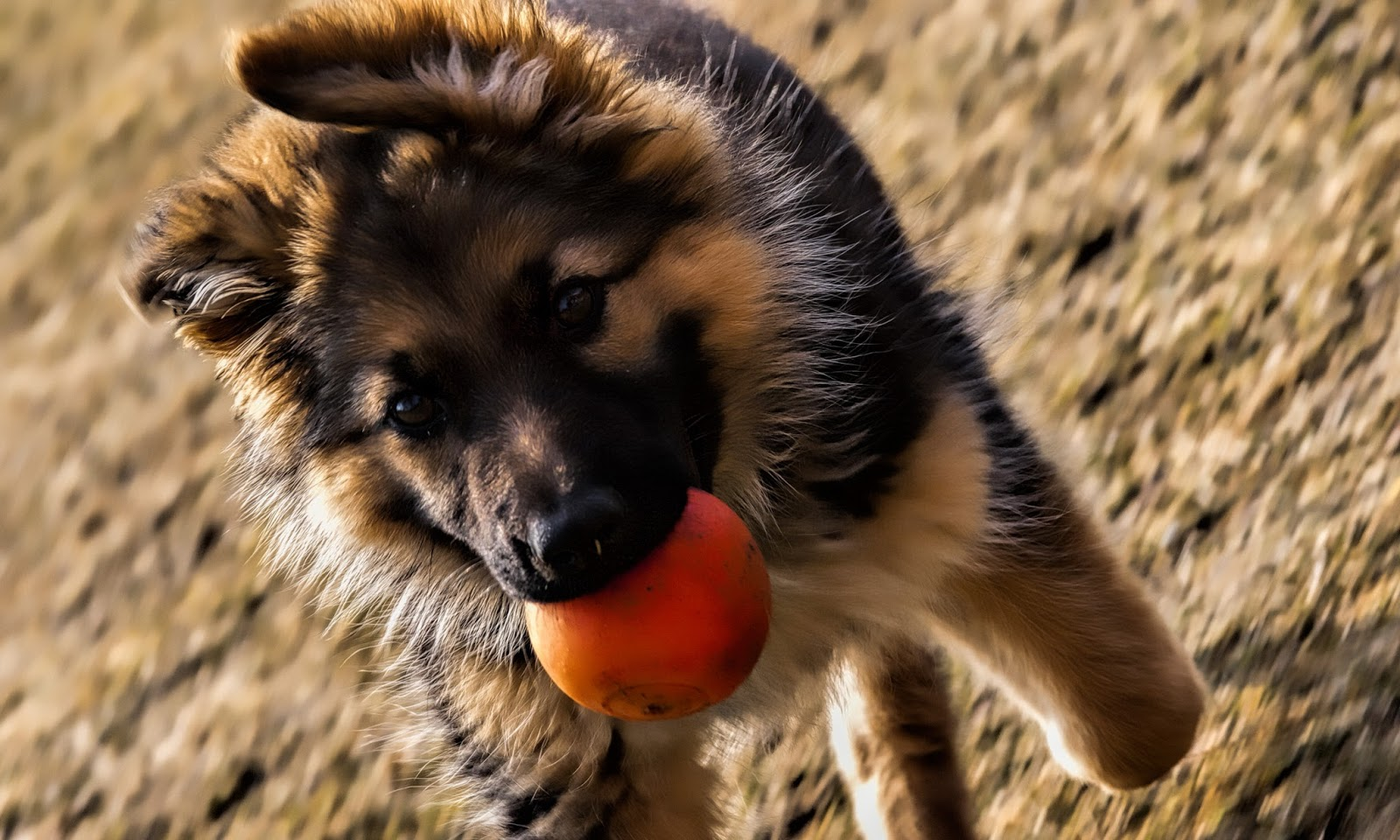 german shepherd hd wallpapers hd wallpapers high
