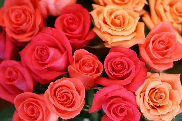 Rosesbunch Of Roses Flowers Nature Wallpaper Desktop