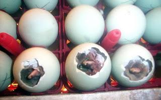 Cara Menetaskan Telur Itik (Bebek) Dengan Mesin Tetas