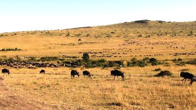 nyu, ñu, ñus, ñus africa, Kenya, animals Kenya, animales Kenya, africa, Africa