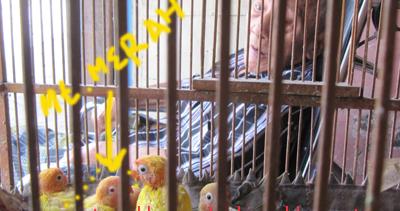 bisnis ternak love bird dan piyek lutino alfatihah herbal 2