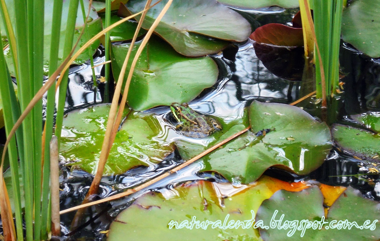 una rana en Madrid