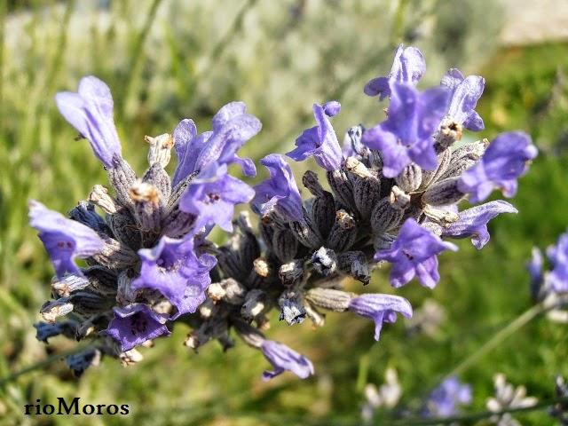 Flores de LAVANDA: Lavandula angustifolia