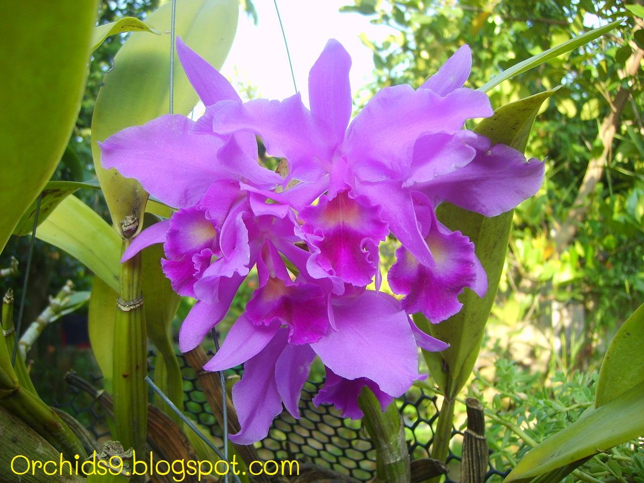 Blue Orchid Flower Blue Orchid Flowers Nature Flower