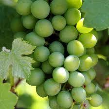 khasiat buah anggur, manfaat buah anggur