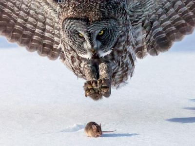 1. ) Una lechuza a punto de atrapar a un ratón.
