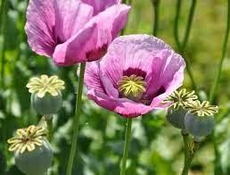 10 Bunga Cantik Yang Ternyata Sangat Mematikan