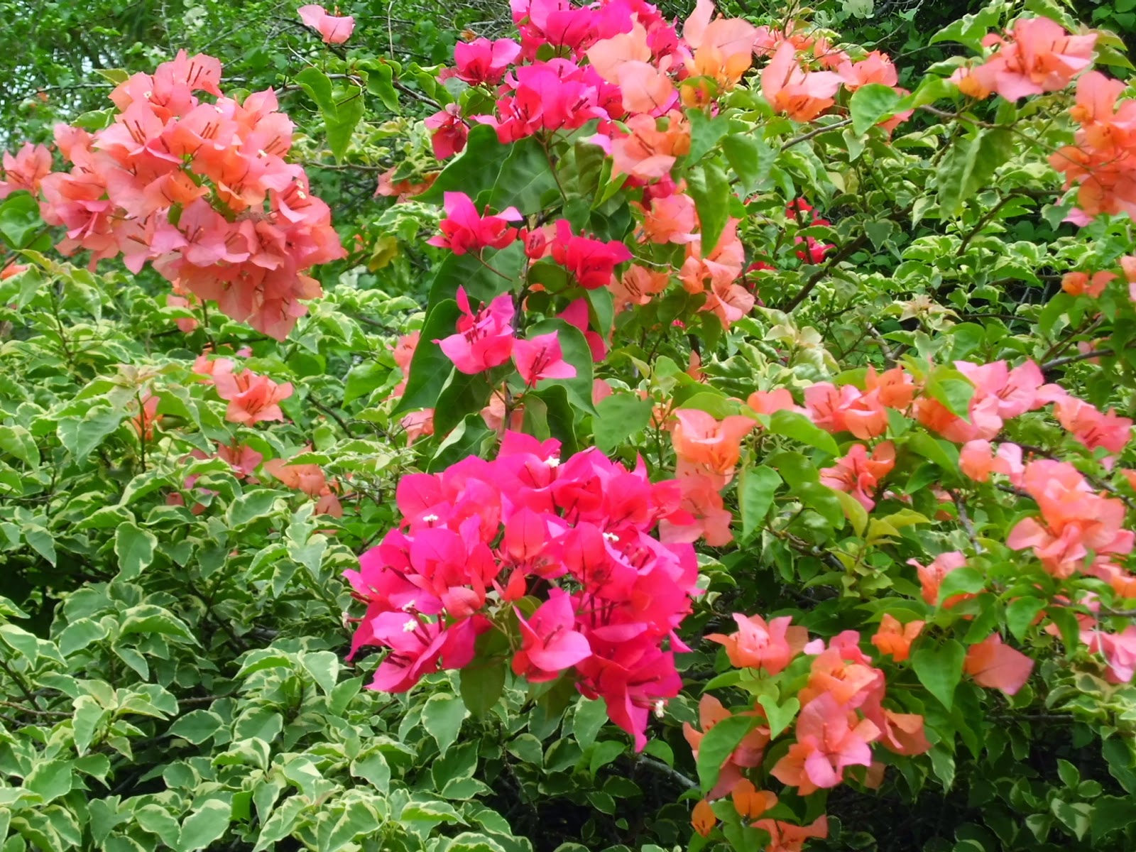 Orange and hot pink Bougainvillea like other Bougainvilleas, need heat to bloom.